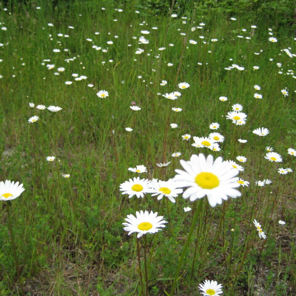 Weed ID Wednesday: Ox-Eye Daisy